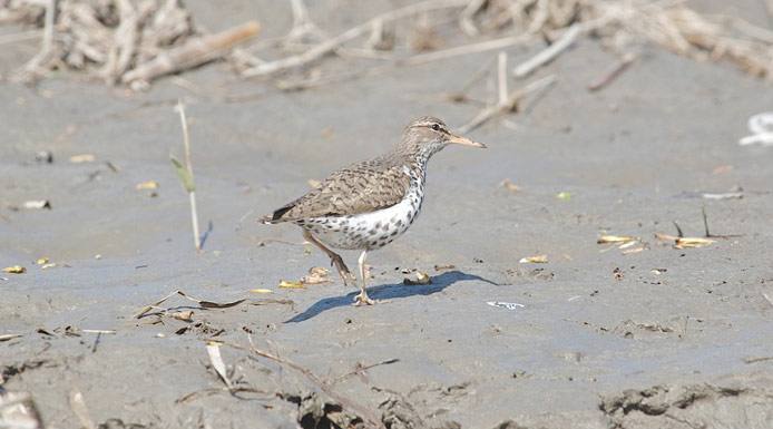 Spotted Sandpiper walking on the shore.
