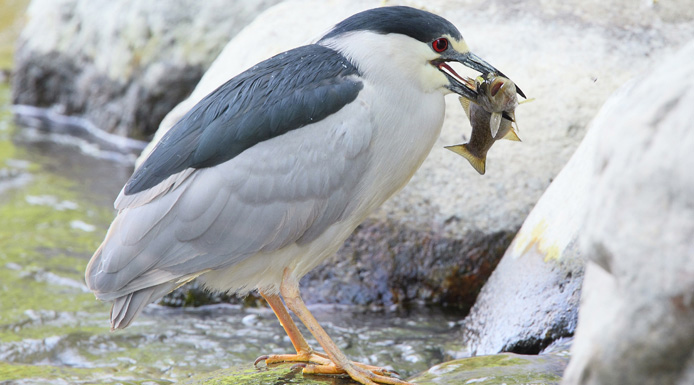 Black-crowned Night Heron with a fish in the beak
